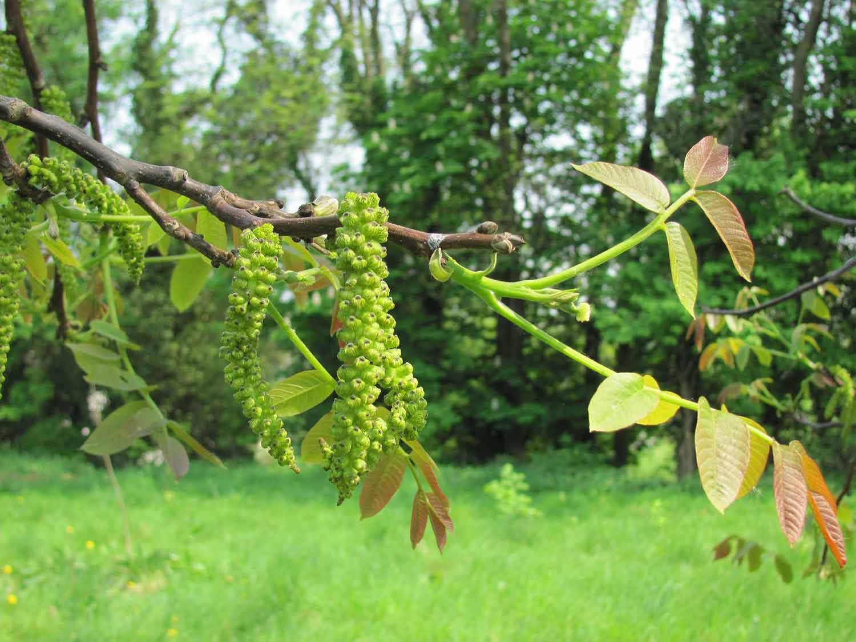 walnut tree bach flower