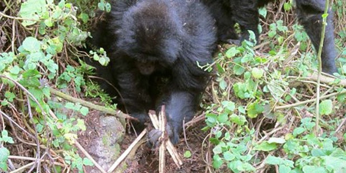 gorillas dismantle poaching traps