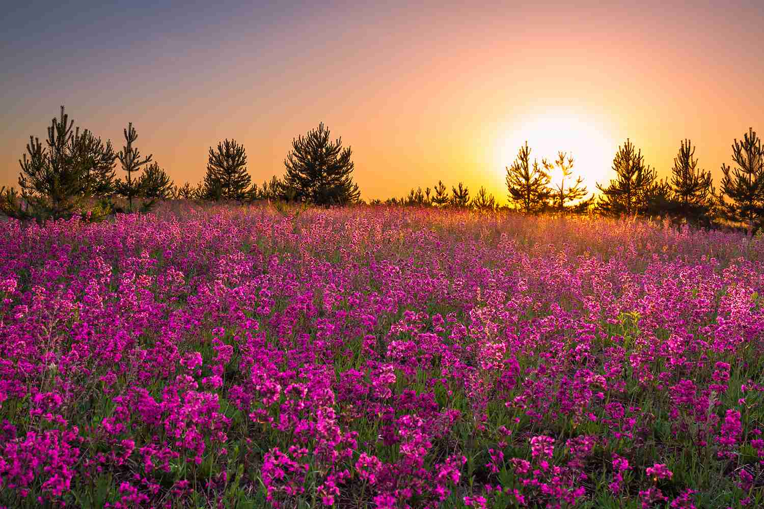 summer landscape purple flowers in a meadow