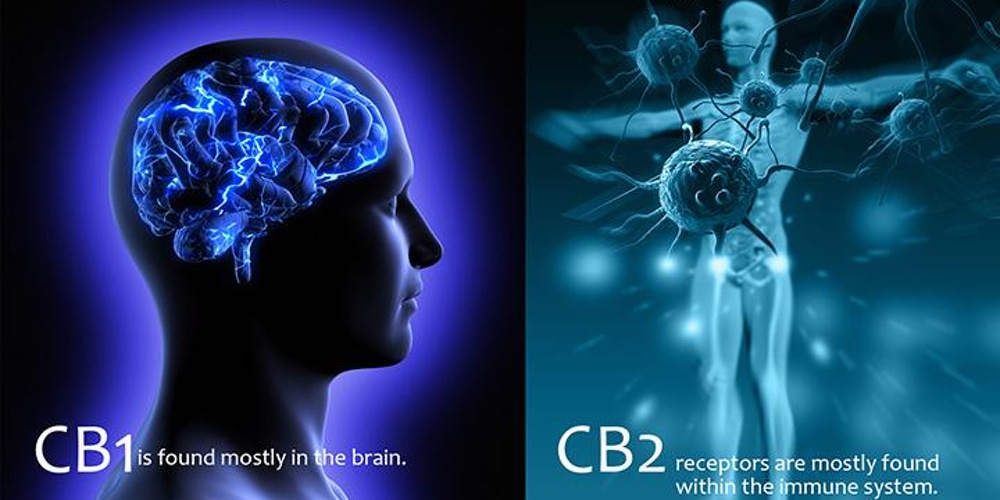 endocannabinoid receptors cb1 and cb2