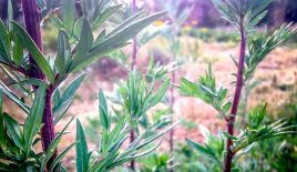 3 Wild Herbs For Lucid Dreaming
