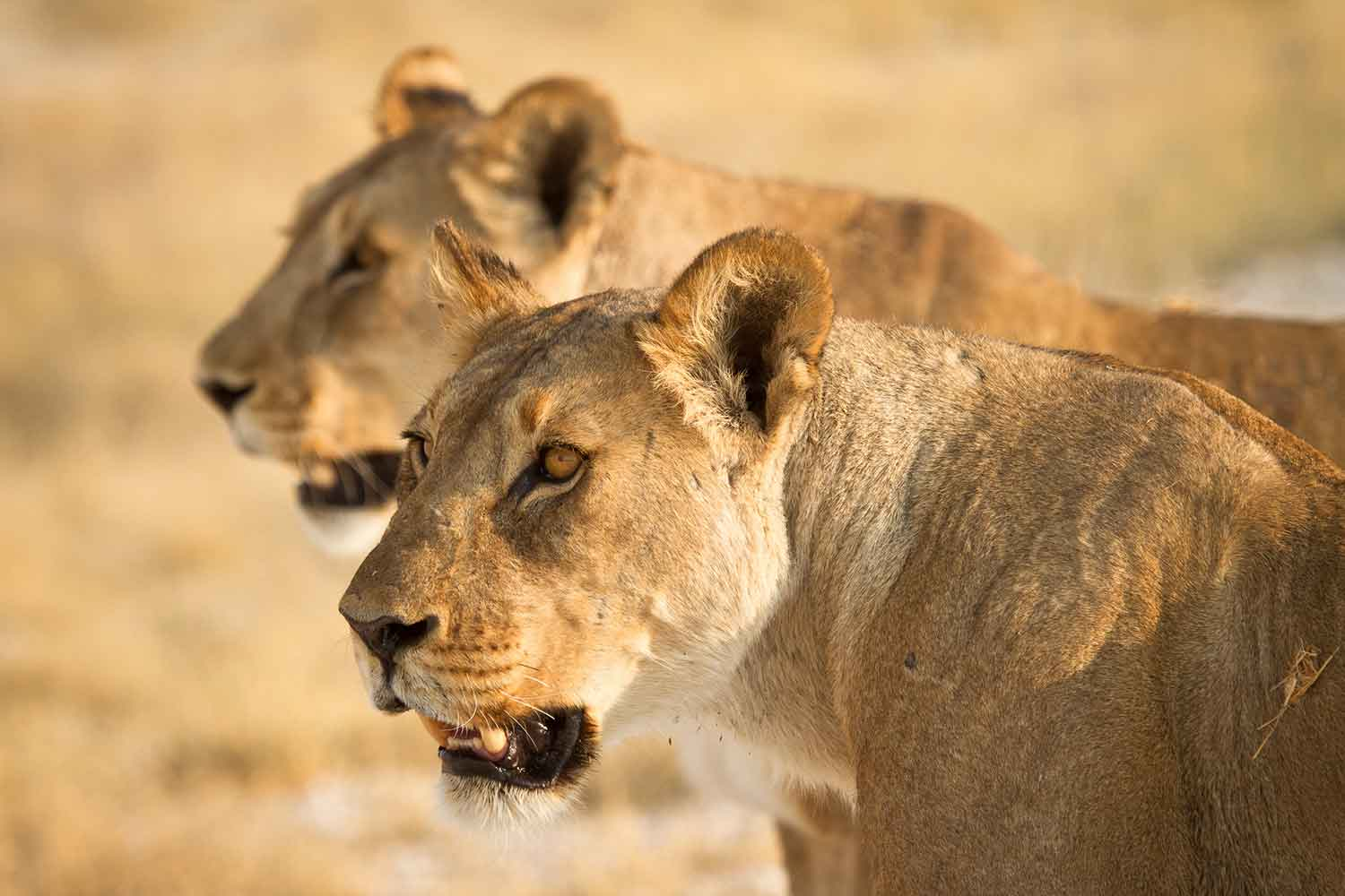 wild female lions on the hunt