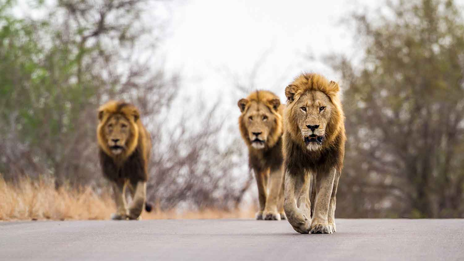 lions walking in kruger national park