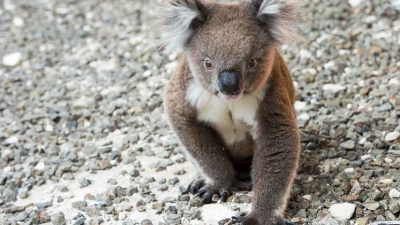 Koalas Have Become 'Functionally Extinct' in Australia With Just 80,000 Left