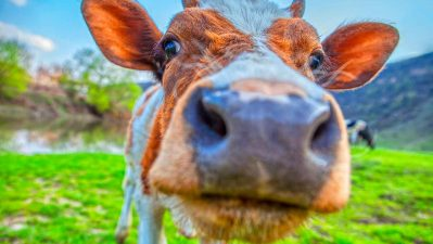 """Beef and Dairy Industries in """"Death Spiral,"""" Will Collapse by 2030, Report Says"""